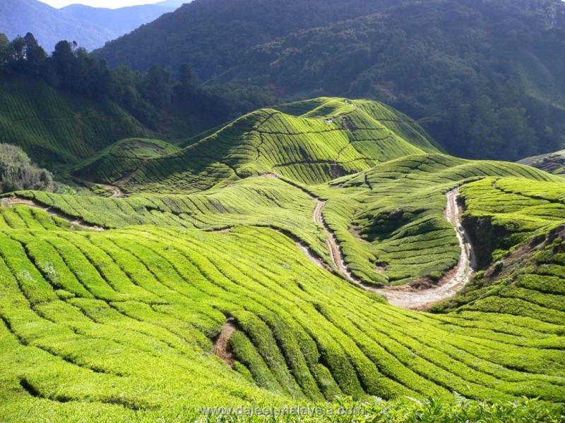 شهر عسل في ماليزيا مرتفعات كاميرون
